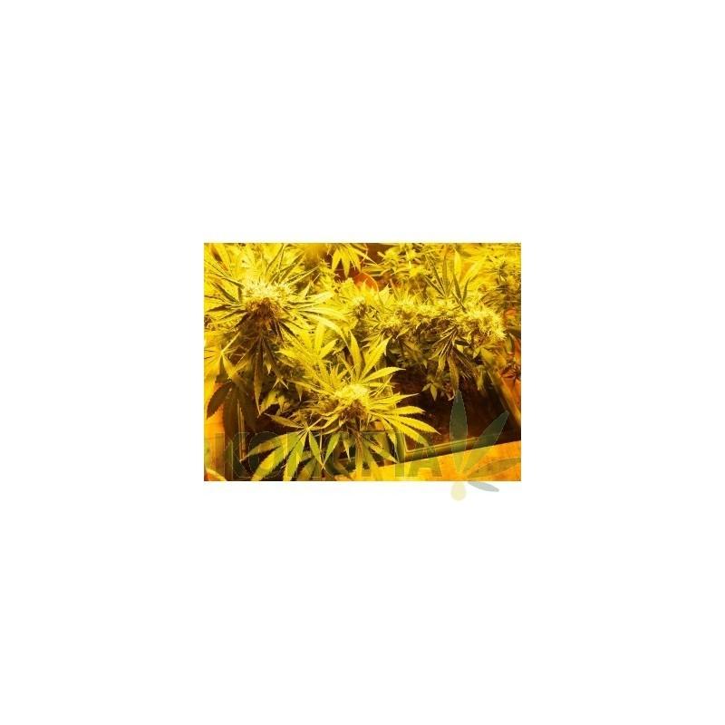 Nasiona CBD Indica Mix